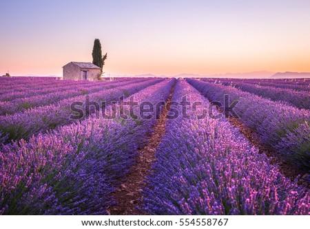 Shutterstock Valensole lavender fields, Provence, France