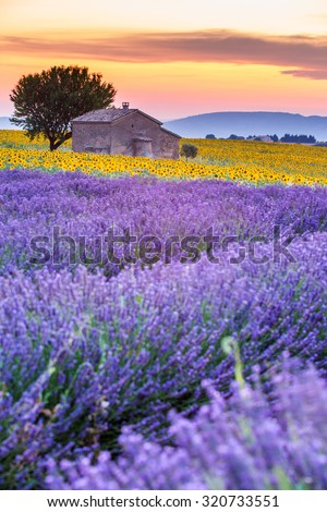 Valensole Plateau, Lavender and sunflower fields with lonely farmhouse at sunset, France