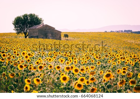 Valensole Plateau, Provence, France. Lavender and sunflowers in summertime