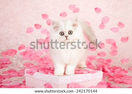 Valentine Chinchilla kitten standing on pink gift box with silk pink rose petals on light pink background