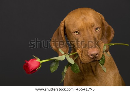 valentine dog holding a stem of rose in mouth - stock photo