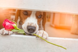 Valentine  dog with a red rose
