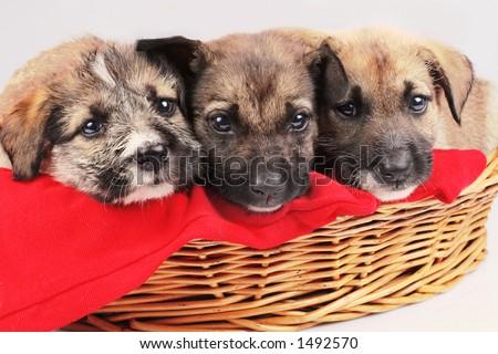 valentine dogs la'trua