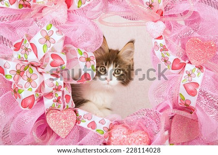 Valentine Maine Coon kitten peeping from behind pink wreath on pink background
