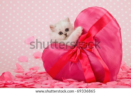 Valentine Mother Day Chinchilla kitten holding huge pink heart cushion