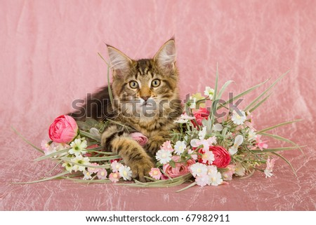 Valentine Mother Day Maine Coon kitten playing with pink bouquet of flowers
