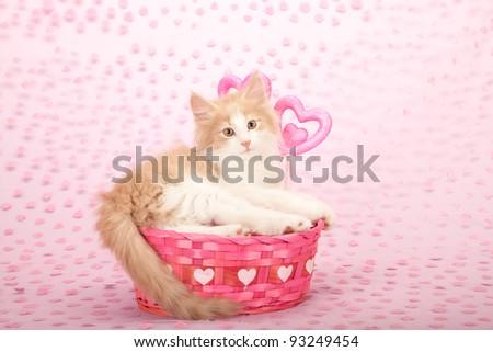 Valentine Norwegian Forest Cat kitten in pink basket on pink heart background