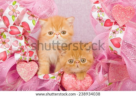 Valentine Persian kitten and Exotic kitten sitting inside pink Valentine wreath on pink background