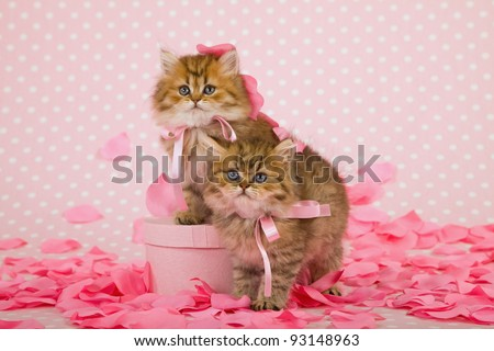 Valentine theme Golden Chinchilla Persian kitten with rose petals and gift box