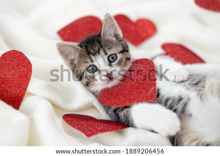 Valentines Day cat. Small striped kitten playing with red hearts on light white blanket on bed, looking at camera. Adorable domestic kitty pets concept