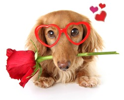 Valentines day dachshund puppy wearing heart shaped glasses holding a red rose.