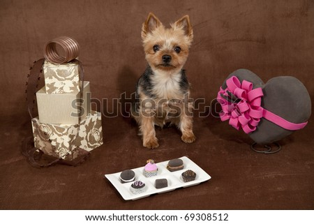 valentines day dog,a yorkshire terrier on a chocolate colored background surrounded be valentines items