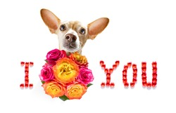 valentines mothers and fathers day chihuahua dog  with love flowers, isolated on white background or wedding
