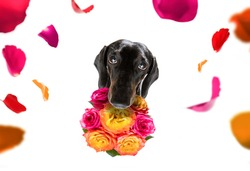 valentines mothers and fathers day dachshund sausage dog  with love flowers, isolated on white background or wedding