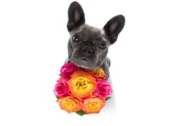 valentines mothers and fathers day french bulldog dog  with love flowers, isolated on white background or wedding