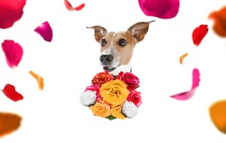 valentines mothers and fathers day jack russell dog  with love flowers, isolated on white background or wedding