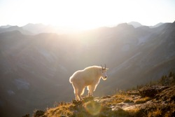 Valhalla Provincial Park in the West Kootenays a rocky mountain goat (Oreamnos americanus) standing on a cliff during golden hour in British Columbia, Canada.