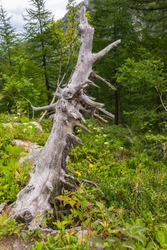 Valley of La Thuile, Aosta Valley, Italy - August 4, 2014: Dead trunk near the Lac d'Arpy (2,066 m - 6778 ft).