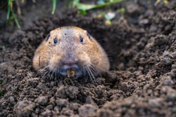 Valley Pocket Gopher (Thomomys botae) looking directly at the camera.