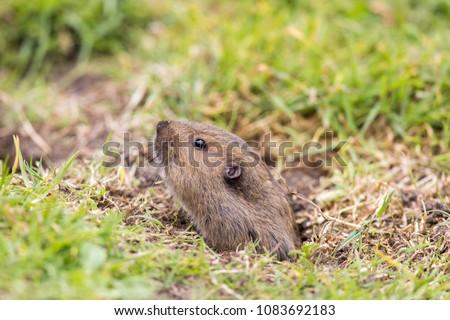 Valley Pocket Gopher (Thomomys bottae) emerging from the burrow. San Francisco, California, USA.