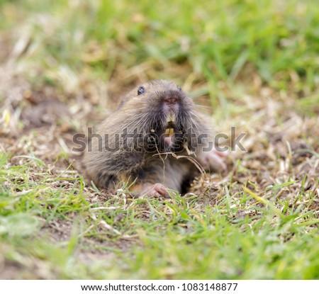 Valley Pocket Gopher (Thomomys bottae) peeking over the burrow. San Francisco, California, USA.