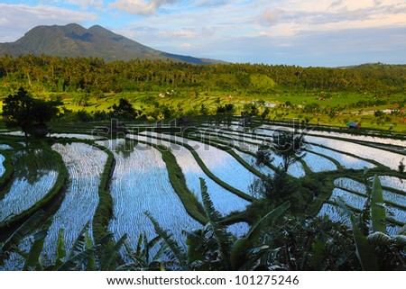 Valley with rice fields and trees at sunset. Bali