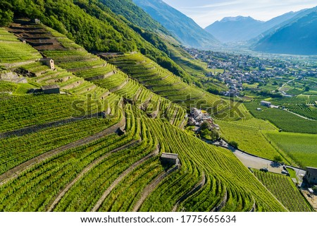 Valtellina (IT) - Bianzone - View of the Nebbiolo vineyards Foto stock ©
