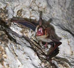 Vampire bat in Cave