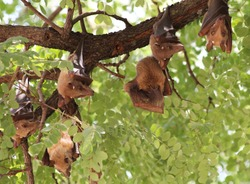 Vampire Bats Hanging From Tree - Kafue National Park November Zambia 2016