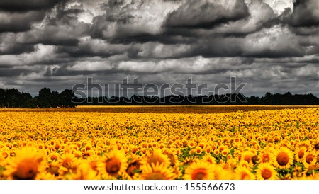 van Gogh Summer. Dramatic evening over sunflowers meadow, natural landscape