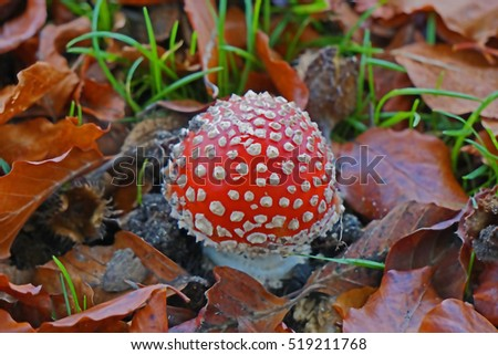 Vancouver, BC, Canada - October 30, 2016:  A Fly Agaric Mushroom was hiding under a few leaves under a tree, next to a bike path at Creekside Park, Vancouver, BC on October 30, 2016. #519211768
