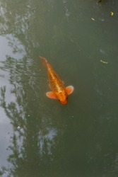 Vancouver British Columbia Canada Large orange coy fish in classical garden