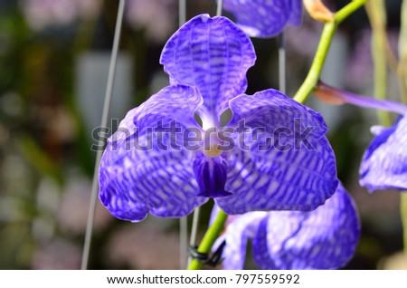 Vanda coerulea orchid