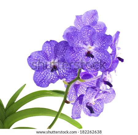 Vanda coerulea the Blue Orchid