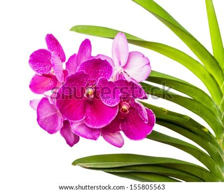 vanda ochid flower isolated on...