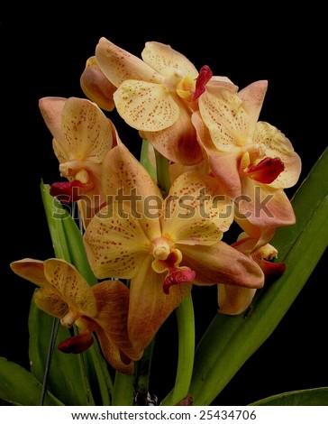 Vanda Orchid - Ascocenda Soroa Constellation