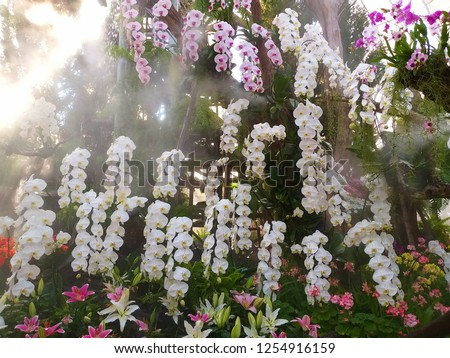 vanda orchid. Orchidaceae. vanda orchids are available in pink, white, and red. Beautiful flower garden. Orchid garden. valentine background. Flowers for weddings.