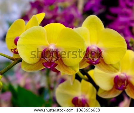 Vandas or Vanda orchid flowers