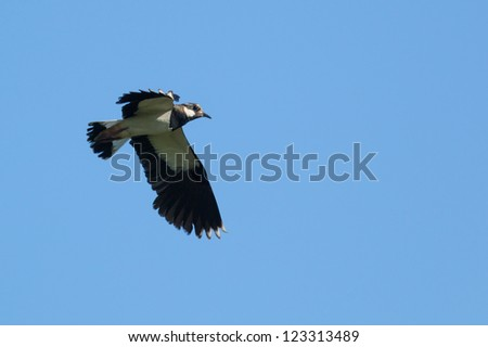 Vanellus vanellus, Lapwing. A bird in flight.
