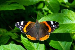 Vanessa atalanta, the red admiral or previously, the red admirable, is a well-characterized, medium sized butterfly with black wings, orange bands and white spots. It has a wingspan of about 2 inches
