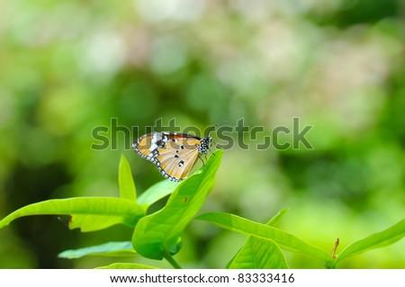 Vanilla Butterfly on green background