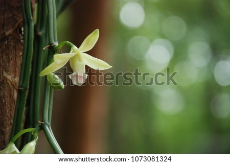 Vanilla flower (Vanilla  aphylla) is a orchid. Vanilla is widely used in both commercial and domestic baking, perfume manufacture, and aromatherapy.