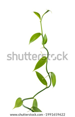 vanilla orchid flowering plant, also known as flat leaved vanilla, plant from which the vanilla spice is obtained or derived, commercially important vine, climbing plant isolated on white background ストックフォト ©