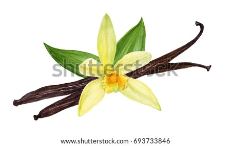 Vanilla pods with flower and leaves. Vanilla sticks. Watercolor hand-drawn illustration.