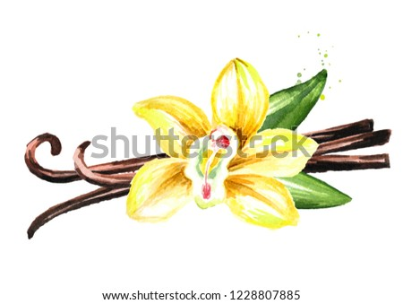 Vanilla yellow flower, pods and leaves. Watercolor hand drawn illustration,  isolated on white background