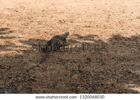 Varan crawls out of the shadows into the sun across the sand. Close-up, rear view. Camouflage color, almost merges with sand. Sunny day. Part of the picture in the shadow.