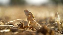 Varanus albigularis or Rock monitor lizard closeup shot. Brown spotted lizard in his natural habitat.