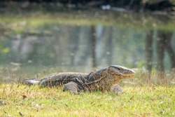 Varanus salvator - asian water monitor
