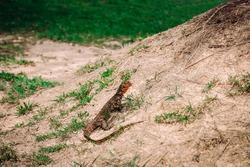 Varanus salvator - asian water monitor Srilanka