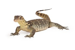Varanus salvator, commonly known as Asian Water Monitor with an attentive stance sitting on a white background